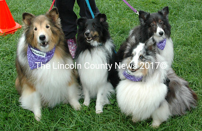 Simon, Jenny, Ella and Ellie wore their Woofstock 2012 bandannas in show of KVSSC Rescue solidarity. The birth of Kennebec Valley Sheltie Rescue came in response to the need to find good homes for shelties that are abandoned, lost, or mistreated and that are in dire need of a new lease on life. They also help those who have to give up their dogs. (E. Busby photo)