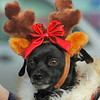 Bella got all dressed up for Santa. (Eleanor Cade Busby photo)