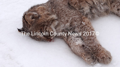 This bobcat was apparently struck by a car in Waldoboro on the night of March 3. (Shlomit Auciello photo)