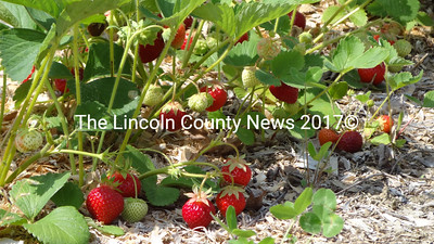 "Jefferson farmer Robert ""Jigger"" Clark said mulching his strawberries with wood shavings may have helped the plants survive a series of wet springs. (Shlomit Auciello photo)"