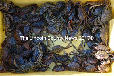 A bait tray teems with dozens of green crabs from a single trap set for 24 hours in the Damariscotta River. (J.W. Oliver photo)