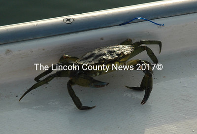 A green crab momentarily escapes from a trap during a statewide survey of the species Aug. 28. (J.W. Oliver photo)
