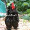 The newest Rooster at Journey's End Farm in Jefferson was not yet caged and strutted his fancy feathers around the barnyard. (Eleanor Cade Busby photo)