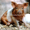 Wilbur, the runt piglet who stole hearts on Sunday. (Eleanor Cade Busby photo)