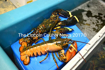 Kendall Delano, of Delano Seafood Market in Waldoboro, said he keeps interesting lobsters like this speckled lobster and half-orange lobster on hand so customers can see them. (D. Lobkowicz photo)