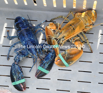 Two rare lobster were brought in to the South Bristol Fisherman's Co-op this week. The blue one was caught by Brian Westhaver, of Nobleoboro, and the tan one by Arnie Gamage, of South Bristol. (Paula Roberts photo)