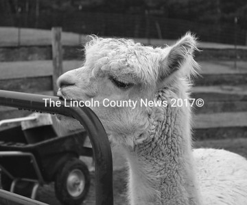 An alpaca enjoys an afternoon snack at the Maine Alpaca Barn in Whitefield April 17. (Abigail Adams photo)