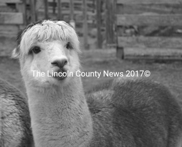 Paco is one of Linda and Alan Russo's 35 alpacas at the Maine Alpaca Barn in Whitefield. (Abigail Adams photo)
