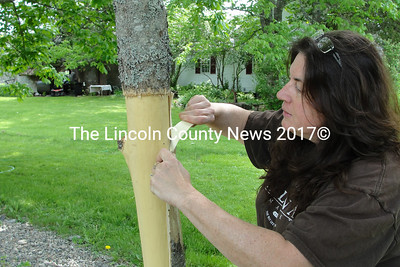 Darcie Hutchins strips an ash tree of its bark to make it more attractive to the invasive emerald ash borer. The beetle has not yet been found in Maine but is an increasing concern for the Maine Department of Agriculture, Conservation and Forestry. (Photo courtesy Darcie and Thomas Hutchins)