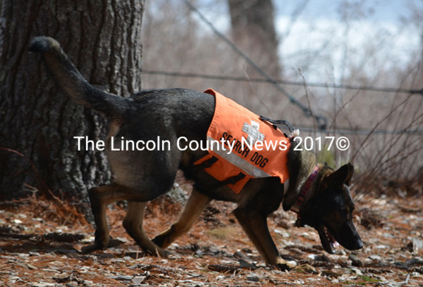 Search dog Renya at Wavus Camps in Jefferson. (Photo courtesy Leslie Howe)