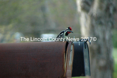A misguided woodpecker sits atop a mailbox in Nobleboro. He and another woodpecker in a nearby tree were answering each other  - pecking on metal was much louder than on wood. (Laurie McBurnie photo)
