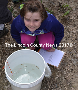 Lydia Currier tests the water temperature in a bucket holding young Atlantic salmon on the banks of the Sheepscot River on May 17 before their release into the wild. (Abigail Adams photo)