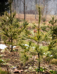 Native white pine seedlings grow at Echo Hill Choose and Cut in Waldoboro on Sunday, Dec. 13. The pines are nursery stock, generally intended for landscaping rather than Christmas trees. (Bisi Cameron Yee photo)
