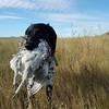 Our first taste of feathers in Montana. Sharp-tailed Grouse