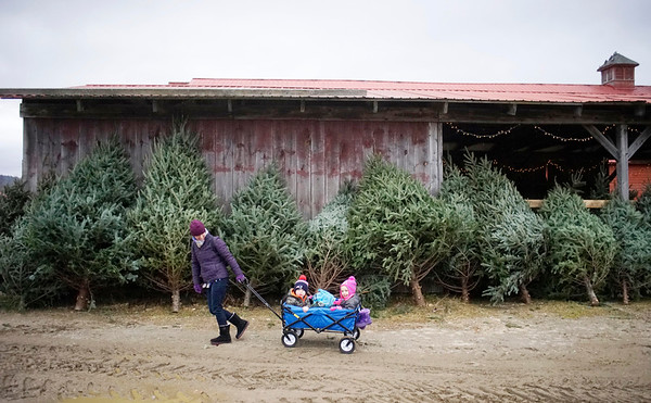 Christmas trees from Holiday Brook Farm - 120316