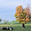 Foliage cows