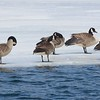DucksGeese
