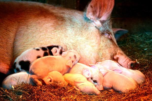 Newborn Piglets at Hancock Shaker Village - 031217