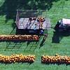 BEN GARVER — THE BERKSHIRE EAGLE<br /> Workers display the pumpkin harvest at Whitney's Farm Market & Garden Center in Cheshire, Mass., Wednesday, September 18, 2019.