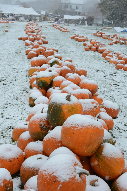 . Snow covers piles of pumpkins that are for sale at Whitney\'s Farm Stand Market in Cheshire as the first significant snowfall of the season fell on Thursday, October 27, 2016. Gillian Jones � The Berkshire Eagle | photos.berkshireeagle.com