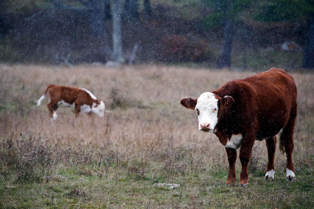 . Cows graze in a field during one of the first snowfalls of the season in Monterey. Thursday, October 27, 2016. Stephanie Zollshan � The Berkshire Eagle | photos.berkshireeagle.com
