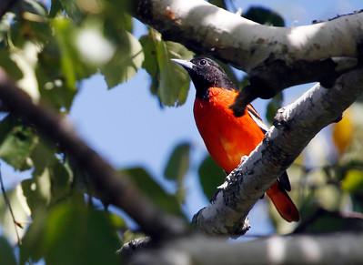 Stunning birds of Onota Lake-082316
