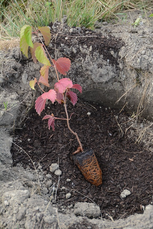 . A seedling sits in a hole waiting to be planted. 800 native shrubs and trees were planted along the drain swale at the former Spruces mobilehome park in Williamstown. The stock was purchased by the Hoosic River Watershed Association with funds from a grant from the Williamstown Community Preservation Act. Thursday, September 1, 2016. Gillian Jones � The Berkshire Eagle | photos.berkshireeagle.com