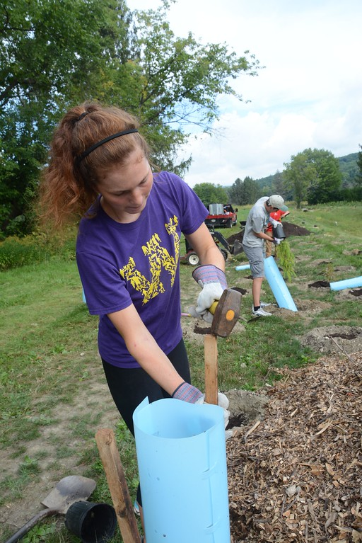 . Williams College sophomore Anna May Fitch, a volunteer, uses a mallet to hammer a stake into the ground around a newly planted shrub. Thursday, September 1, 2016. Gillian Jones � The Berkshire Eagle | photos.berkshireeagle.com