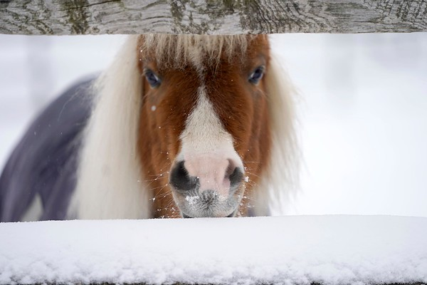 BEN GARVER — THE BERKSHIRE EAGLE<br /> A miniature horse named Jack peers through a fence at  Wirtes Farm in Lanesborough, Monday, February 18, 2019.