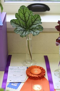 Section D Award of Merit: Heidi Muschick Heuchera 'Beauty Color'\