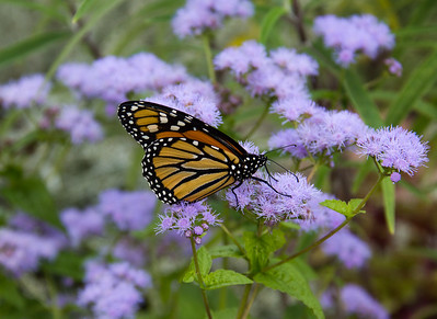 Monach butterfly on Fall Ageratum  at Avis Campbell Gardens Maintained by the Garden Club of Montclair