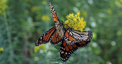 "Monarchs at Ringwood State Park ""Come Fly With me"" example"