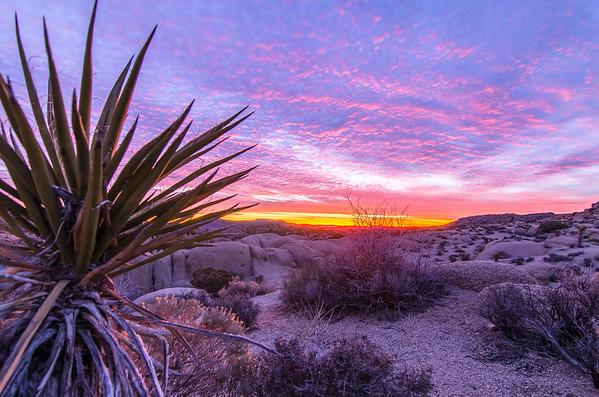 J Tree Yucca Sunrise