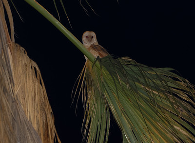 Stanford barn owls