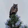 Lathrop Great Horned Owl makes an appearance