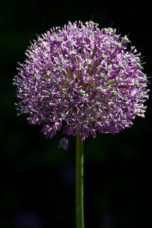 Avalokita's flower