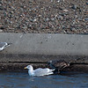 Western and Glaucous-winged Gulls
