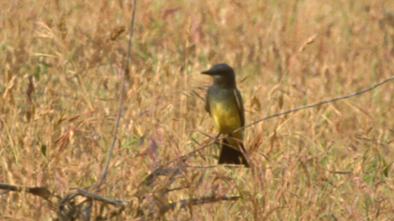 cassins_kingbird2
