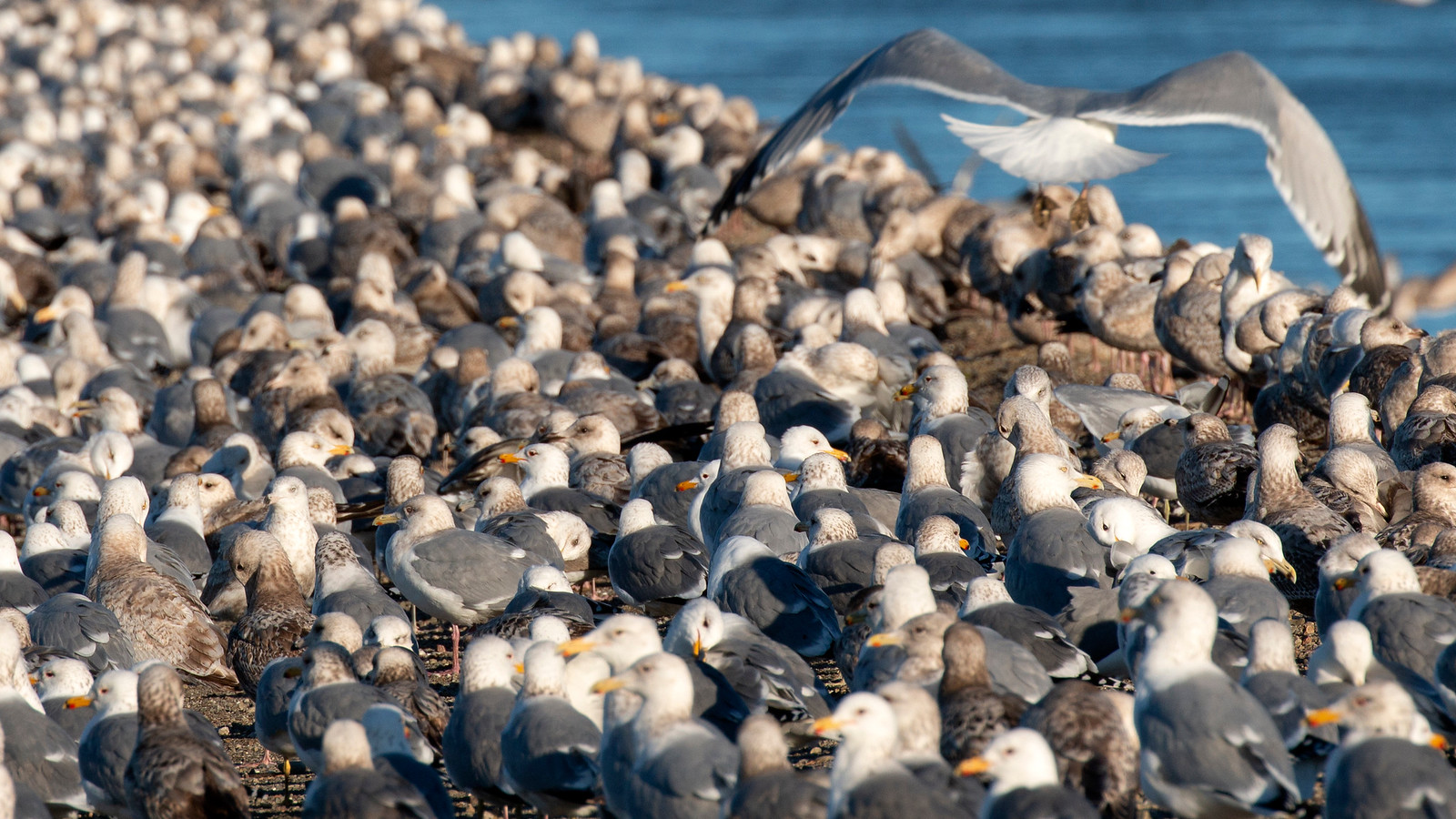 So many Gulls