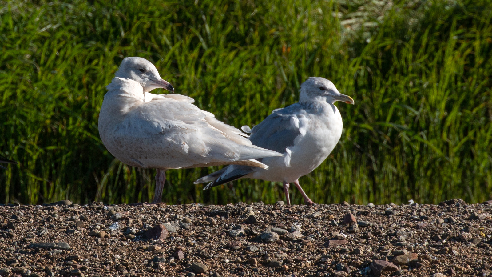 Glaucous Gull – 1st cycle