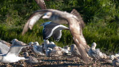 Slaty-backed Gull - adult in Flight