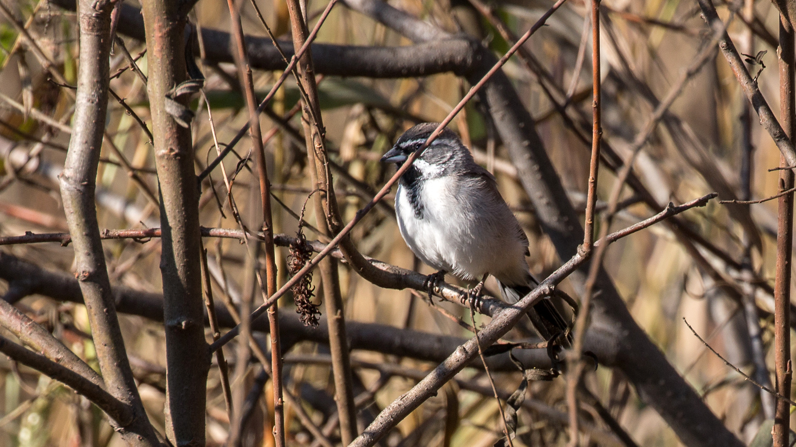 Photograph of a Black-throated Sparrow