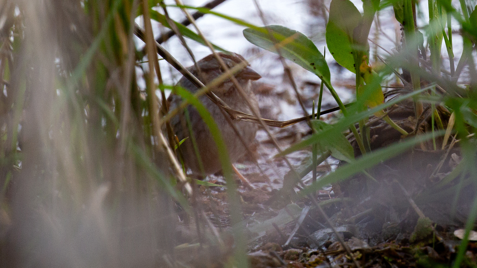 Photo of Swamp Sparrow hiding in reeds