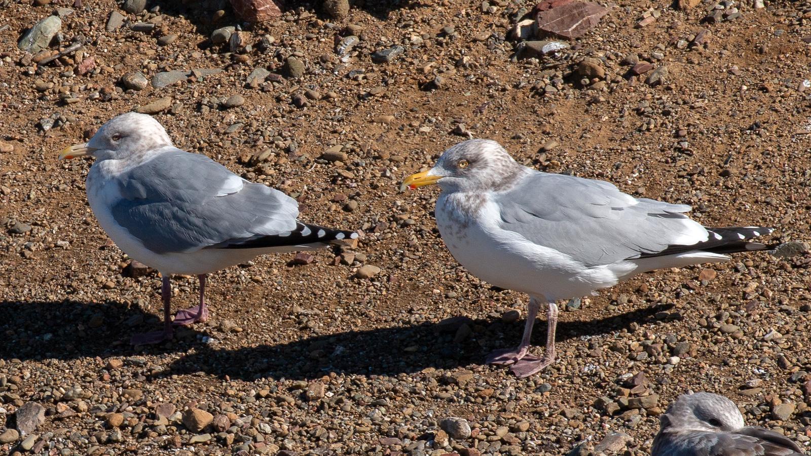 Iceland Gull and Herring Gull - Adults