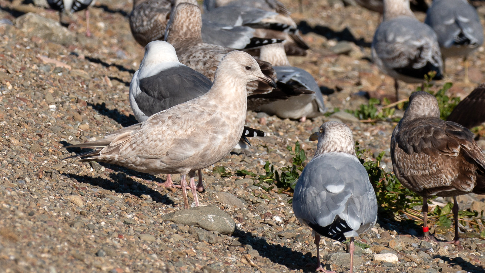 Iceland Gull – 1st Cycle