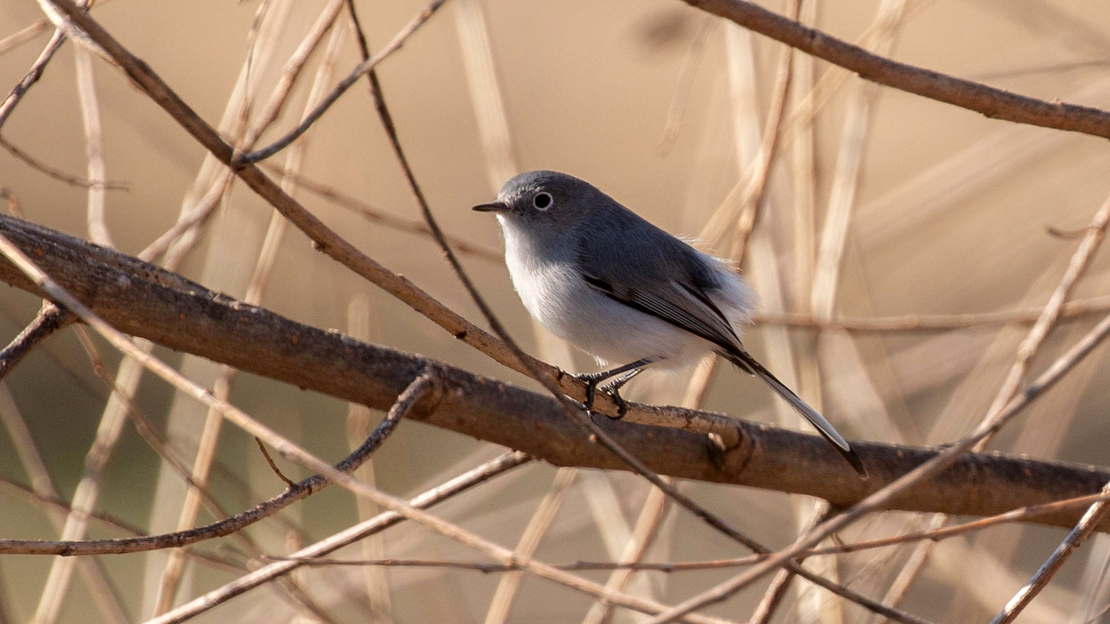 Photograph of a Blue-gray Gnatcatcher
