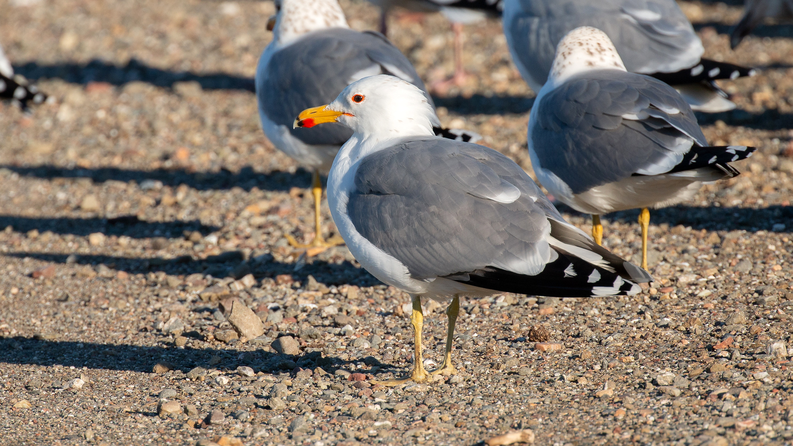 California Gull - Adult
