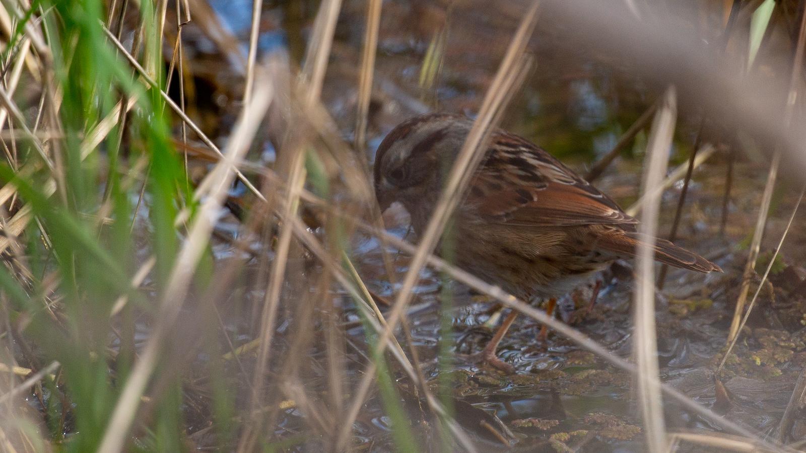 Photo of Swamp Sparrow