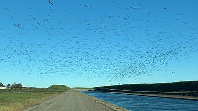 Gull Flock in Air