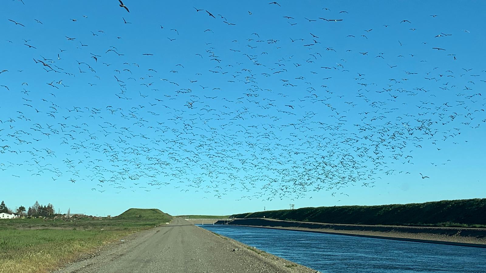 Gull flock in the air